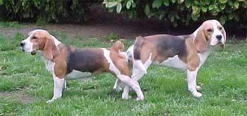 hanhund parring